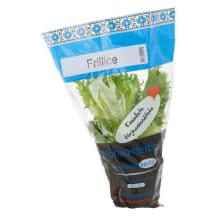 Salat frillice potis Hansa Herbs