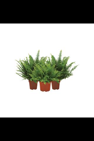 Kaktuss podiņā D9,5/H15-25