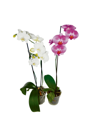 Telpaugs - Orhideja Mix 1kāts D9/H45-55