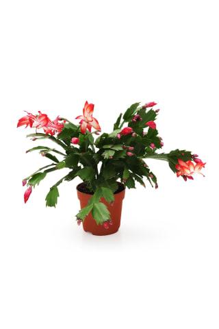 Ziemassvētku kaktuss podiņā D9/H20