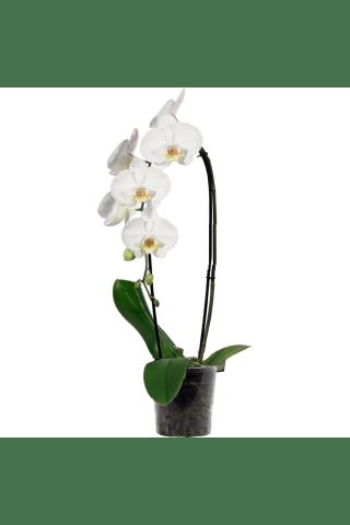Orhideja `Kaskāde` 1 kāts D12/H55-60