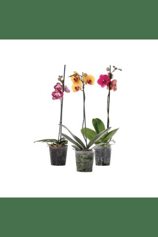 Telpaugs - Phalaenopsis 1kāts D12/H50-70